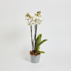 Classic Phalaenopsis Orchid
